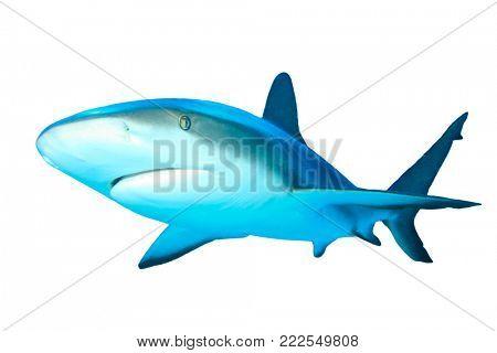 Shark isolated. Caribbean Reef Shark on white background