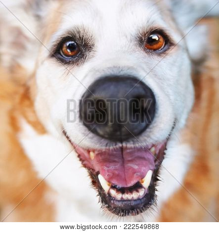 wide angle super close up perspective of a senior dog laying in the grass in a backyard smiling at the camera