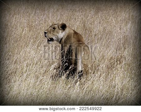 Lion female hunting in the African sabana