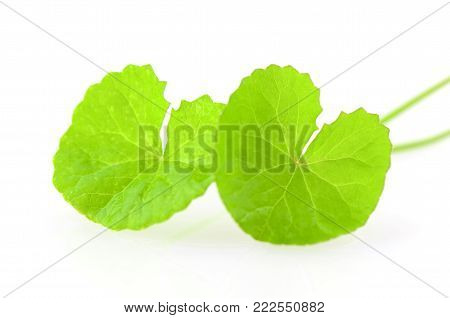 Natural Gotu-Kola leaves on white background with bright light.