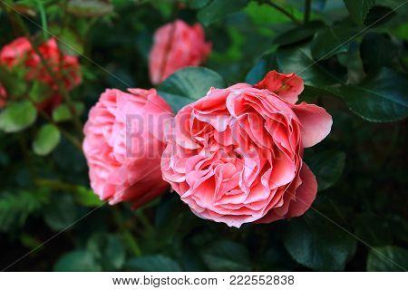 Beautiful big pink roses on blured background. Delicate large pink rose on the bushes. Pink rosebuds. Rose Bush in the garden. Background of green leaves and roses. Caring for garden roses. Wallpaper for desktop, foto for calendar