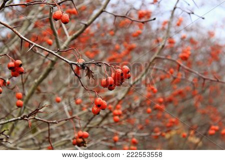 Hawthorn berries in winter. Red berries in the cold. Clusters of hawthorn on the wind. Hawthorn berries on the sky. The Bush of Hawthorn in autumn. Winter berries. Frozen berries