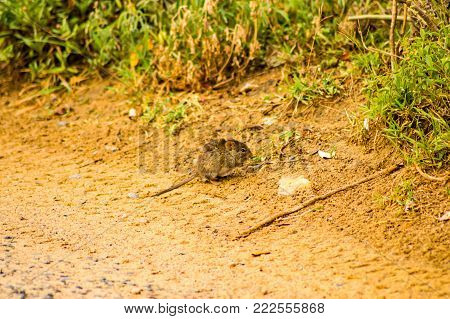 Mouse nibbling on a dirt road in the savannah of the Maasai Mara Park north of kenya