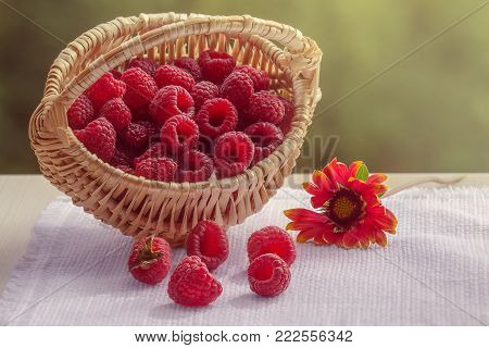 Raspberry in a basket on the windowsill. Basket on a white napkin. The flower is red coreopsis. Scattered raspberries. Late variety. Natural light.