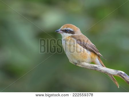 The Brown Shrike bird seek a food on the tree stick