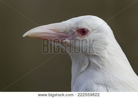 A very rare and close profile portrait of the head of an true albino crow looking to the left