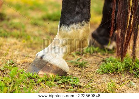 Detailed close up of horse standing hoof feet with hooves. Animals details concept.