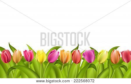 Isolated border on white with copy space of fresh red and orange yellow and purple spring tulips with green leaves