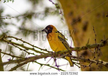 Weaver bird resting on a black acacia tree in Masai Mara Park in northwestern Kenya