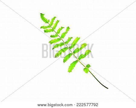 Nephrolepis cordifolia foliage isolated on white background