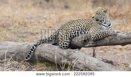 Leopard resting on a fallen tree log to rest after hunting