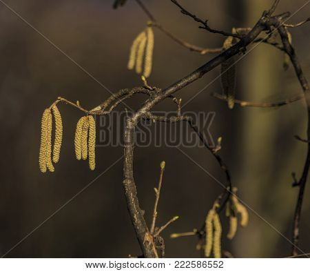 Detail of catkin bloom in winter sunny day