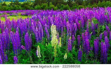 wonderful landscape. Majestic mountain landscape with lupine blooming field on a sunny day. picturesque scene. breathtaking scenery. wonderful landscape. small depth of field