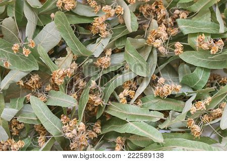 Close up of dried linden flowers as a background. Linden flowers.