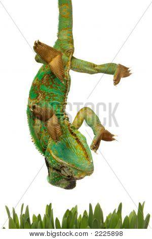 Green Chameleon Going For Grass