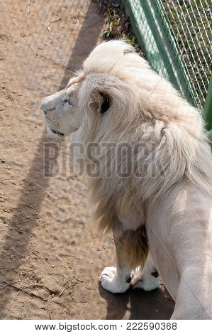 White lion in the zoo enclosure. View from the top