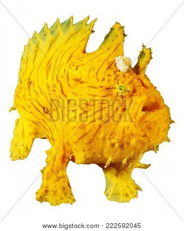 Striated Frogfish (Anglerfish) frog fish isolated on white background