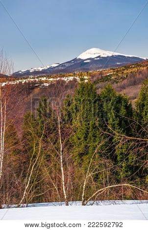 birch and spruce on snowy hills in Carpathians. beautiful springtime scenery in mountains with snowy top in the distance