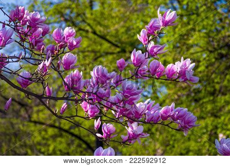 beautiful spring background.  Magnolia flowers closeup on a branch. blurred background of blossoming garden