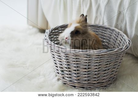 Cute rabbit, small easter bunny, domestic pet with long ears and fluffy fur coat sitting in wicker basket