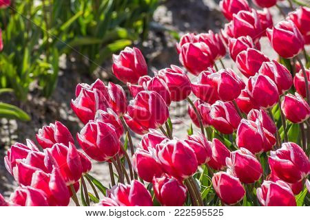closeup of tulips in Dutch spring flower field