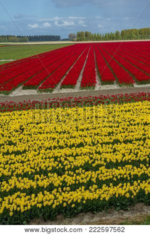 blooming spring tulip flowers in Dutch fields