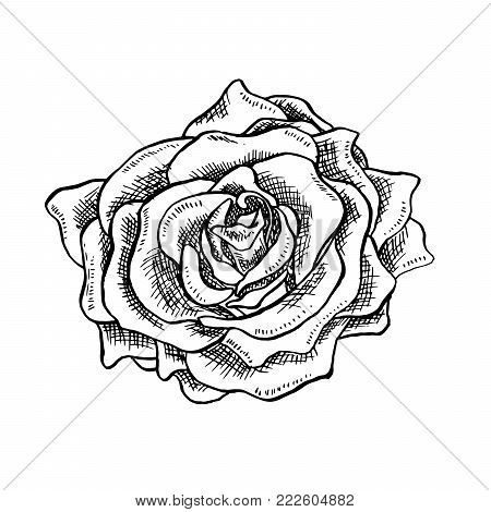 Rose Flower Bud in Sketch Style. Blossoming Single Rose Head flower Hand drawn Vector Isolated Rose Illustration. Engraving object.