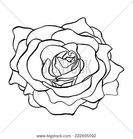 Rose Flower Bud in Outlines. Blossoming Single Rose Head flower. Hand drawn Vector Isolated Contour Rose Illustration. Engraving object.