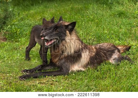 Black Phase Grey Wolf (Canis lupus) Gets Licked by Pup - captive animals
