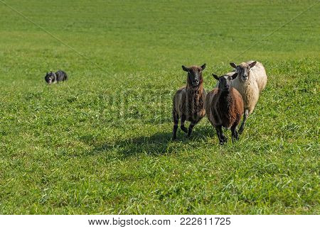 Group of Sheep (Ovis aries) with Stock Dog in Background - at sheep dog herding trials