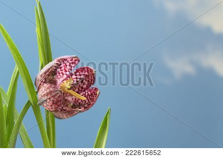 snake's head fritillary (Fritillaria meleagris) or chequered daffodil, close up of the flower against a blue sky background with large copy space