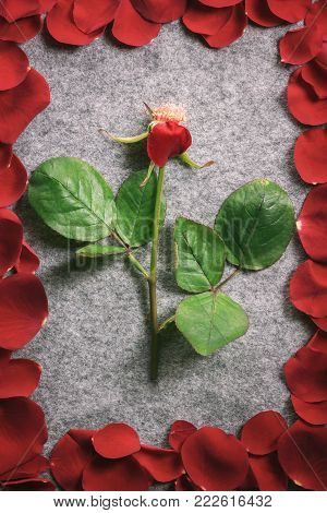 Rose stem surrounded by its red petals - Romantic design image with a rose stem with a single petal, on a vintage grey fabric, surrounded by its red petals spread in the shape of a frame.