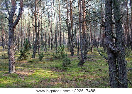 Strange forest, disturbing mood, bent tree trunks