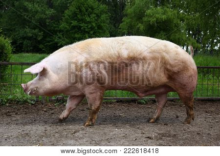 Closeup of mighty domesticated male buck pig against green natural background outdoors