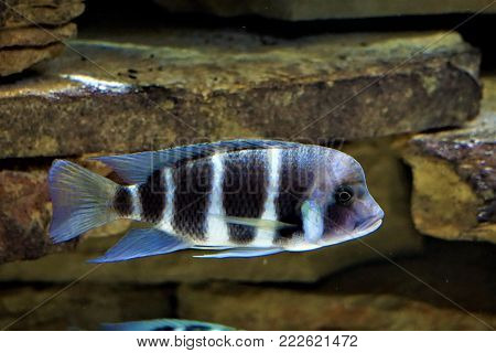 Black and white Cyphotilapia fish swimming in aquarium