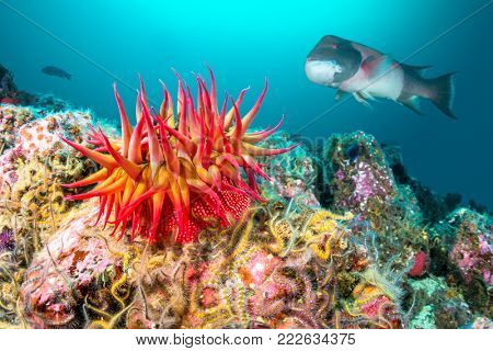 A red rose anemone perched atop a reef in Southern California's Channel Islands attracts a large sheephead gamefish