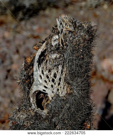 Close up of a dead, dried up, Perforated skeleton of a cholla jumping cactus in Arizona, USA.