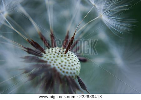 Closeup of dandelion seed/ conceptual image of luck and good wishes