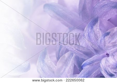 Floral light purple-white background. Flowers of white-blue-violet hyacinth close-up. Flower collage for postcard. Nature.