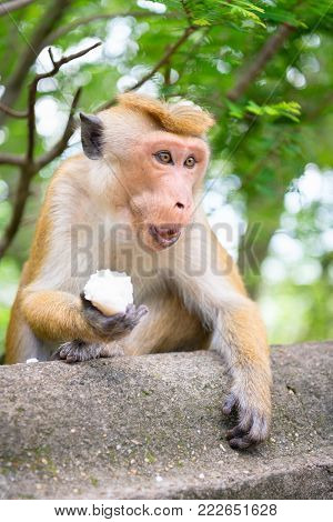 Aggressive Monkey Protects A Piece Of Rice.
