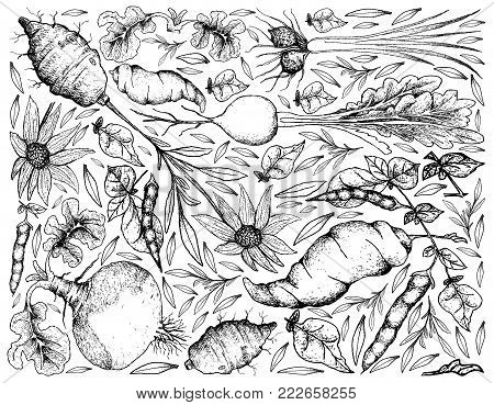 Root and Tuberous Vegetables, Illustration Background of Hand Drawn Sketch of Tigernut, Swede, Prairie Turnip, Jerusalem Artichoke and Ahipa Plants on White Background.