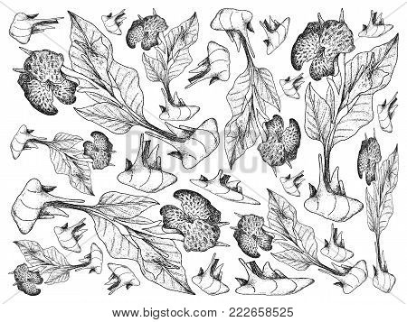 Root and Tuberous Vegetables, Illustration Hand Drawn Sketch of Fresh Canna Plant Isolated on White Background.