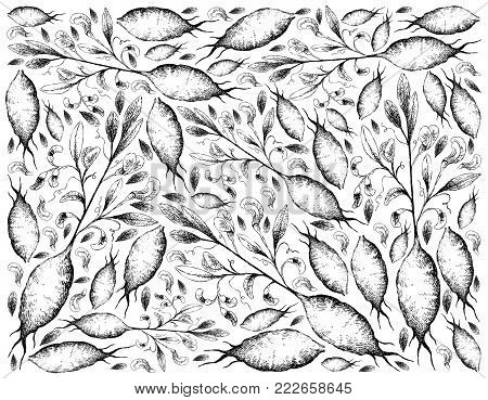 Root and Tuberous Vegetables, Illustration Hand Drawn Sketch of Earthnut Pea or Lathyrus Tuberosus Plant Isolated on White Background.