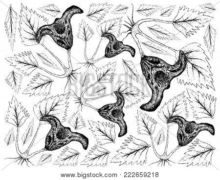 Root and Tuberous Vegetables, Illustration Hand Drawn Sketch of Water Caltrop or Trapa Natans Plant on White Background. Good Source of Dietary Fiber, Vitamins and Minerals.