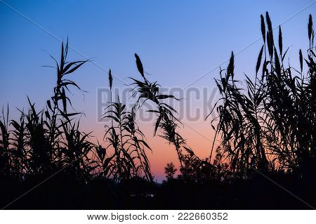 Beautiful dawn with silhouettes of reeds against a background of clear sky. Silhouettes of reeds in the background of the rising sun. Blue and orange sky without clouds.