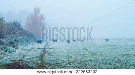 Group Of Black Cows In Misty Meadow. North Rhine-westphalia, Germany