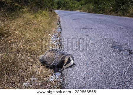 Dead european badger next to road in Serbia