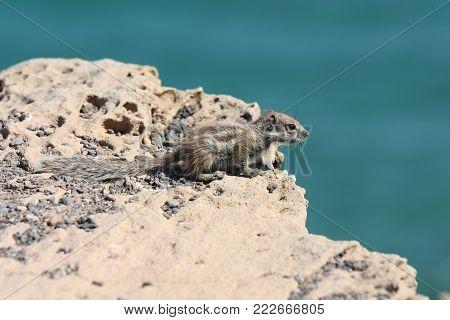 Squirrel on a cliff on the Atlantic ocean Fuerteventura