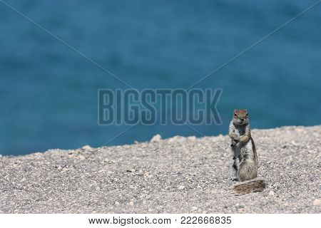 Small squirrel on a cliff at ocean shore