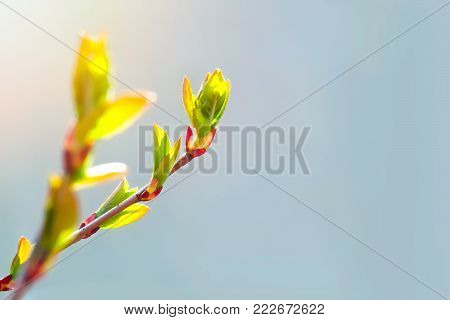 Spring has come, the first green. Nature wakes up. Dissolve the first leaves on the branches. Warm days. Kidney trees disclosed. A symbol of new life, hope, new business. A sunny spring day